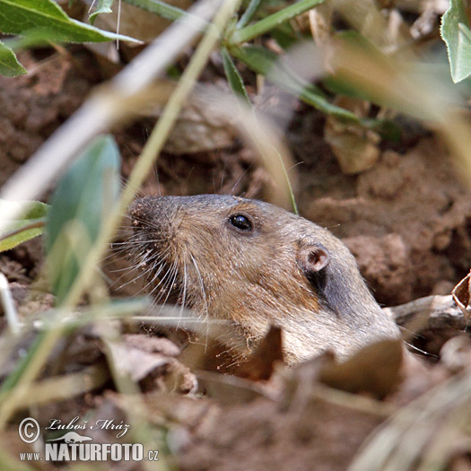 Northern Pocket Gopher (Thomomys talpoides)