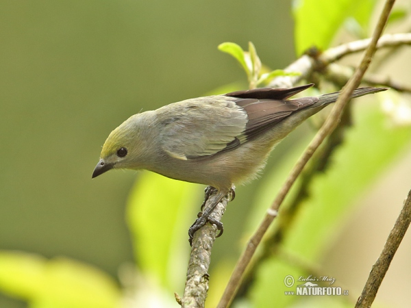 Palm Tanager (Tangara palmarum)