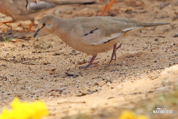 Picui Ground-Dove (Columbina picui)