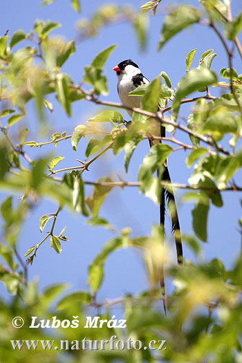 Pintailed Whydah Pin-tailed (Vidua macroura)