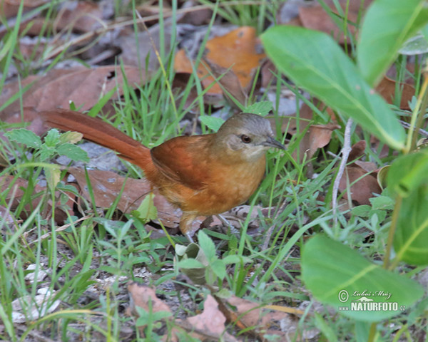 Plain-crowned Spinetail (Synallaxis gujanensis)