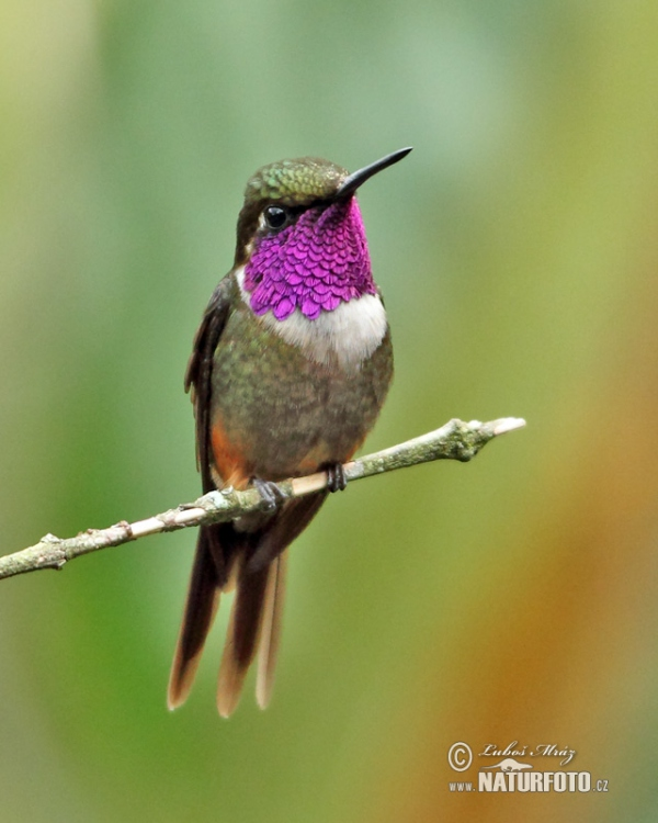 Purple-throated Woodstar (Calliphox mitchellii)