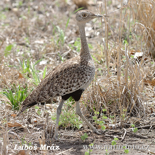 Red-crested Bustard crested (Eupodotis ruficrista)