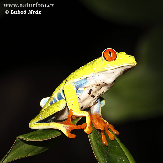 tree frog pictures. Red-eyed Tree Frog