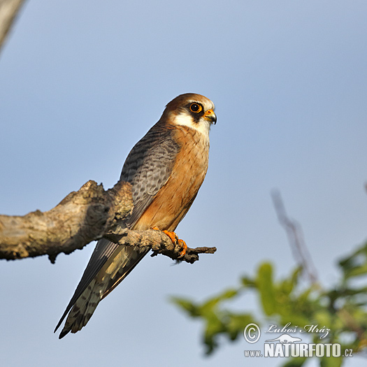 Red-footed Kestrel (Falco vespertinus)