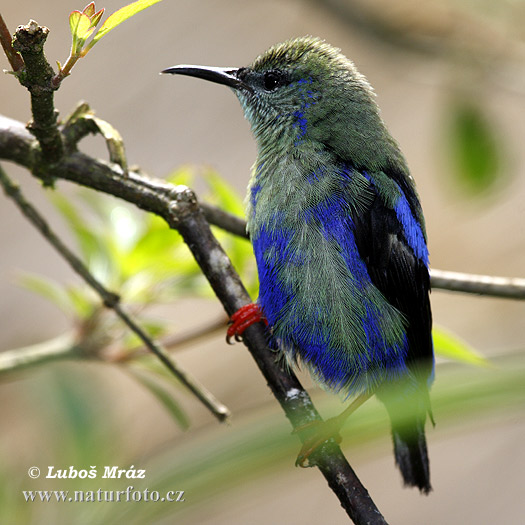 Red-legged Honeycreeper (Cyanerpes cyaneus)