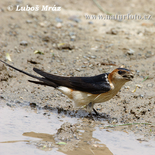 Red-rumped Swallow (Hirundo daurica)