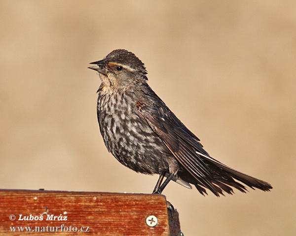 Red-schouldered Blackbird