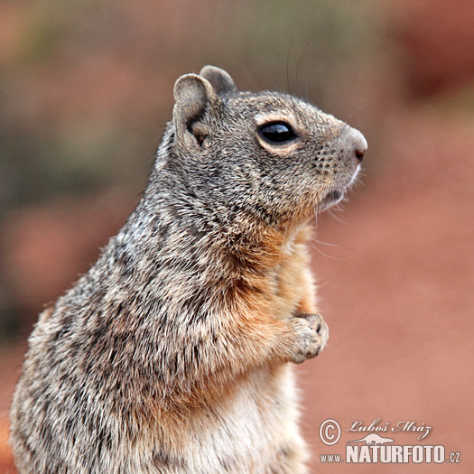 Rock Squirrel (Otospermophilus variegatus)