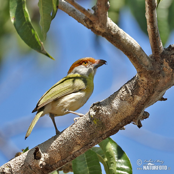 Rufous-browed Peppershrike (Cyclarhis gujanensis)