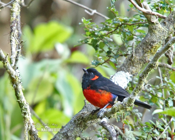 Scarlet-beillied Mountain-Tanager (Anisognathus igniventris)