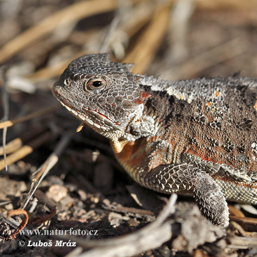 Short-horned Lizard (Phrynosoma douglassi)