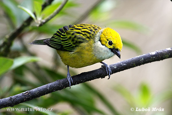 Silver-throated Tanager (Tangara icterocephala)