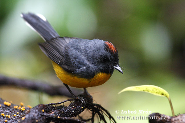 Slate-troated Redstart