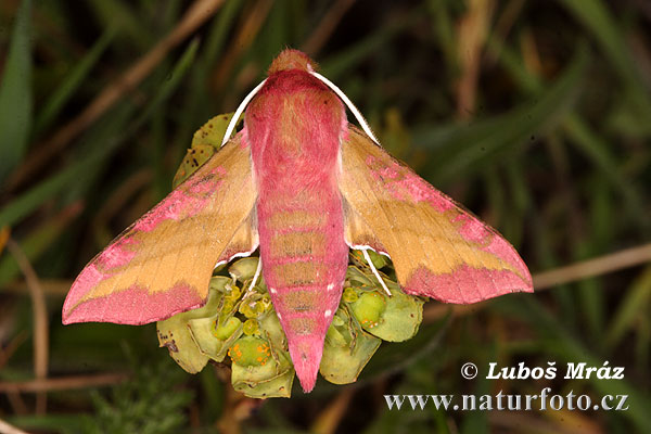 Small Elephant Hawkmoth (Deilephila porcellus)