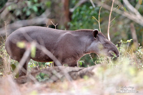 South American tapir (Tapirus terrestris)