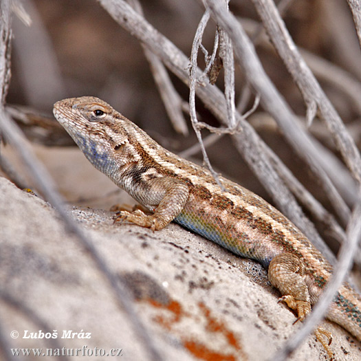 Spiny lizard (Sceloporus sp.)