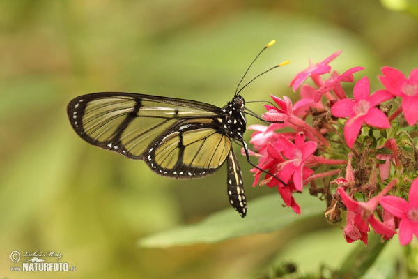 Spotted Glasswing (Metona grandiosa)