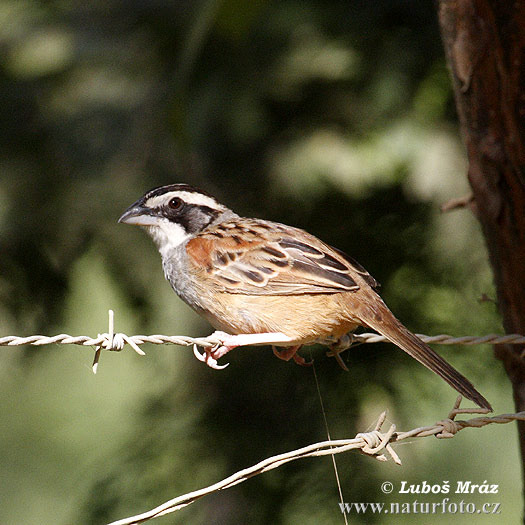 Stripe-headed Sparrow (Aimophila ruficauda)