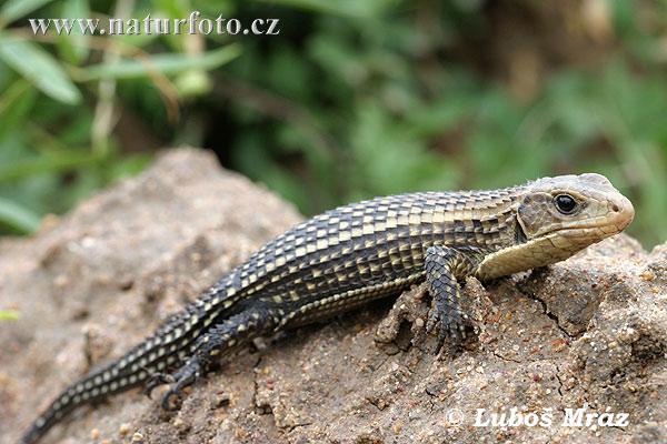 http://www.naturephoto-cz.com/photos/mraz/sudan-plated-lizard-05a20031.jpg
