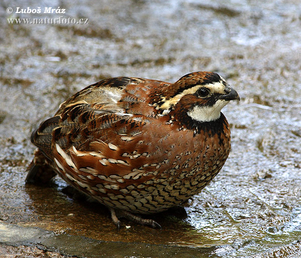Tawny-faced Quail (Rhynchortyx cinctus)