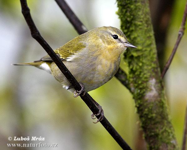va bene questo uccellino dorato per la domenica della Santa Trinità?  dans amici animali amici veri tennessee-warbler-07F736
