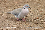 African mourning Collared dove