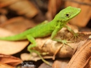 Andes Anole