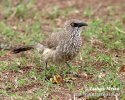 Arrow-marked Arrowmarked Babbler