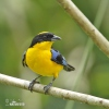 Bolivian Mountain-tanager
