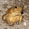 Cane Toad Gian Marine