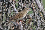 Common Grasshopper-Warbler
