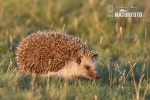 Eastern Hedgehog