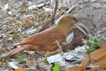 Great Fufous Woodcreeper
