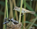 Great Reed Warbler and Cuckoo