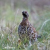 Hasel Grouse