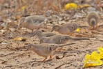 Long-tailed Ground-Dove