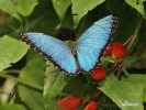 Morpho eleanor