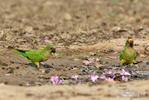Peach-fronted Parakeet