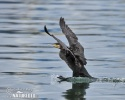 Phalacrocorax carbo
