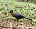 Purple-crested Lourie