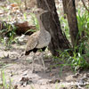 Red-crested Bustard crested