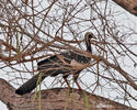 Red-throated Piping-Guan