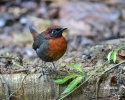 Rufous-brested Antthrush