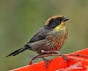 Rufous-naped Brush-Finch