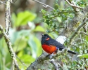 Scarlet-beillied Mountain-Tanager