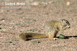 Smith´s Bush Squirrel