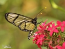 Spotted Glasswing