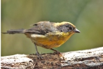 Tricolored Brush-Finch
