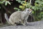 Uinta Ground Squirrel